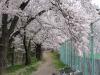 テニスコート脇 桜の道