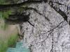 テニスコート脇 桜の道(縦)