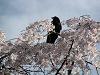 桜の上の烏