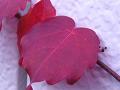 ツタの紅葉