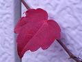 紅葉した蔦一葉