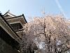 しだれ桜と櫓と飛行機雲