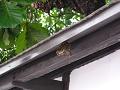ひさしの下の蜂の巣