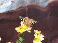 菊に留まる蝶。