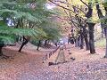 欅並木道 黄葉