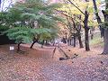 欅並木道 落ち葉の絨毯