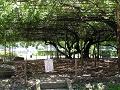 信濃国分寺史跡公園 鞄の藤 夏