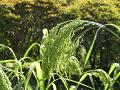 雑穀(黍、かな)