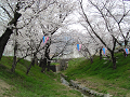 小川の土手の桜