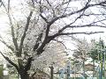 桜の枝下に遊ぶ