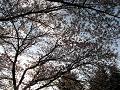 見上げれば木漏れ日の落つ咲耶姫