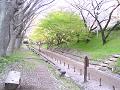 けやき並木遊歩道に桜散る