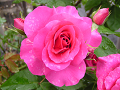 水も滴るバラの花