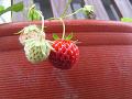 小さなイチゴ