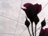 曇り空と薔薇