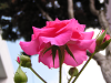 見上げる薔薇