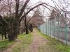 テニスコート脇 桜のつぼみ