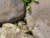 石垣のオオイヌノフグリ