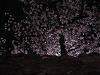 石垣の上、満開の桜