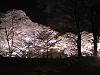 光を抱く桜