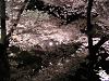 夜桜 水面の満開