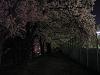 テニスコート横 夜桜のトンネル