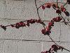 蔦の葉の紅葉