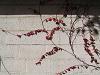 白い壁、赤い蔦の葉