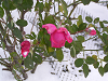 うなだれる冬薔薇