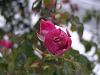 冬薔薇(つぼみ)