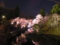 夜桜(二分咲き)ライトアップ