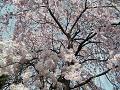 しだれ桜の傘の中