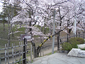 けやき並木遊歩道入り口の桜