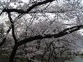 歩道に枝をさしかける桜