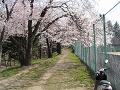 テニスコート脇桜