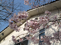 咲き誇る桜
