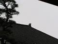 屋根の上の烏たち