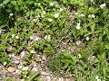 野生化して群生するイチゴの花