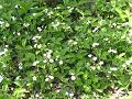 木陰で野生化して群生するイチゴの花