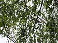 柳の枝に一羽