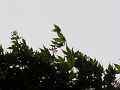 風に吹かれる楓の青葉