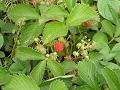 野生化した苺の実