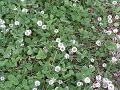 クローバー(シロツメクサ)の花