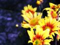 黄色とオレンジの菊
