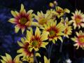 黄色と橙色の菊