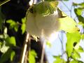爆ぜた綿の実