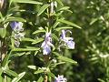 アンサンシエ(ローズマリー)の花