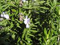 マンネンロウ(万年香)の花