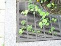街路樹の足元に咲くマリーゴールド