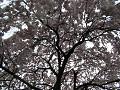 満開の枝垂れ桜(木の下から見上げる)